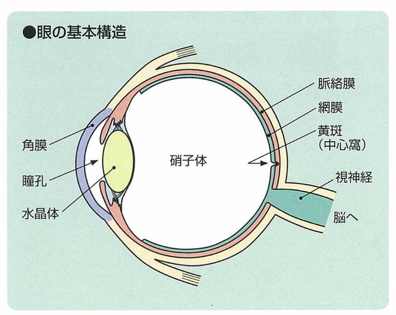 眼の基本構造