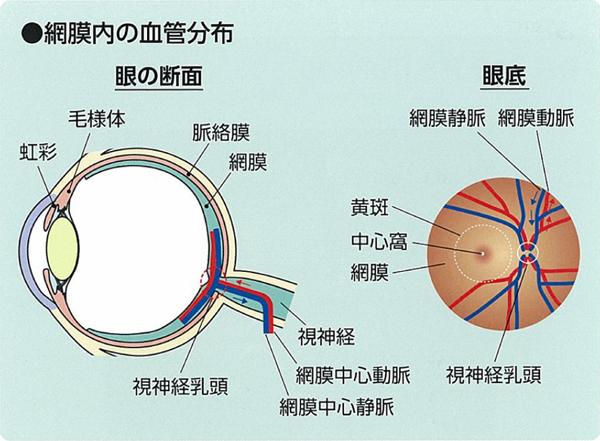 網膜の血管について